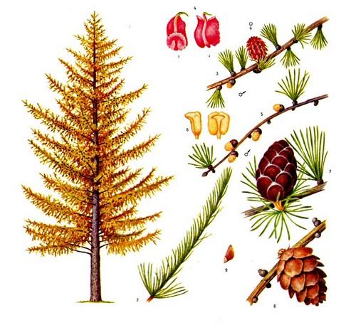 Лиственница сибирская: 1 - общий вид дерева (осенняя окраска), 2 - ростовой, или удлинённый, побег; 3 - ветвь с укороченными побегами и хвоей, с макро- и микростробилами, 4 - макростробилы: а - кроющая и семенная чешуи с семяпочками, б - кроющая чешуя; 5 - ветвь с укороченными побегами и хвоей , с микростробилами, 6 - микростробилы, 7 - сформировавшаяся шишка, 8 - злая шишка, 9 -семя.{amp}#xD;{amp}#xA;
