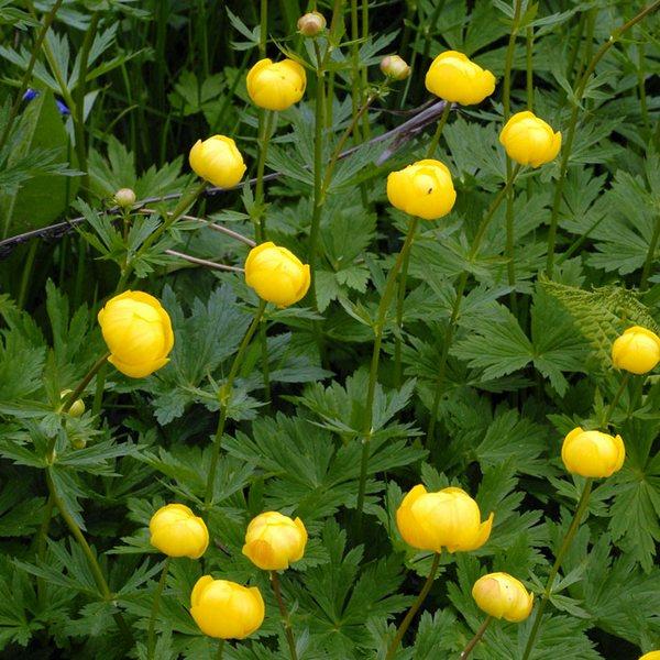 Как у многих растений семейства лютиковых в цветке у купальниц ярко окрашены не...