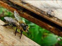 новый вид пчелы