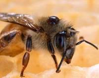 пчела сбила вертолет