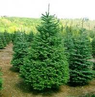 выращивание елок