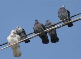 голуби из Таджикистана