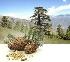 кедровые орехи2