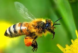 пчелы и кофеин