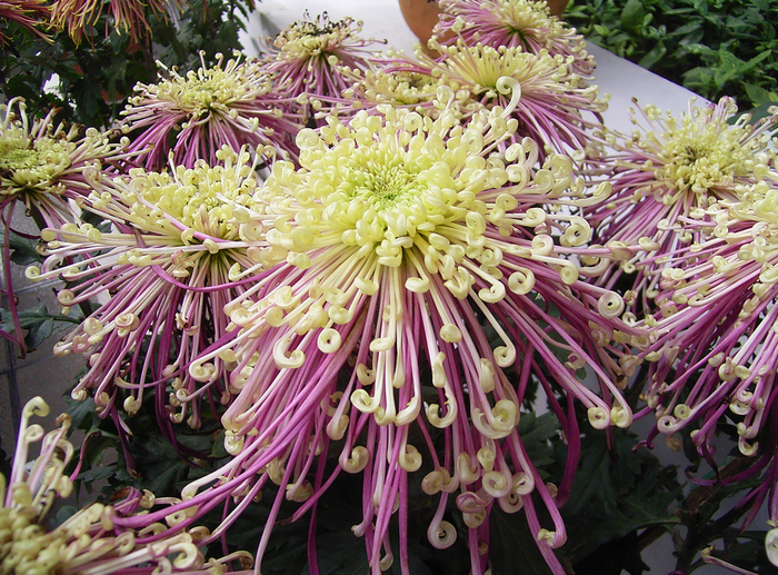 79740543_All_sizes__chrysanthemum_flower__Flickr__Photo_Sharing