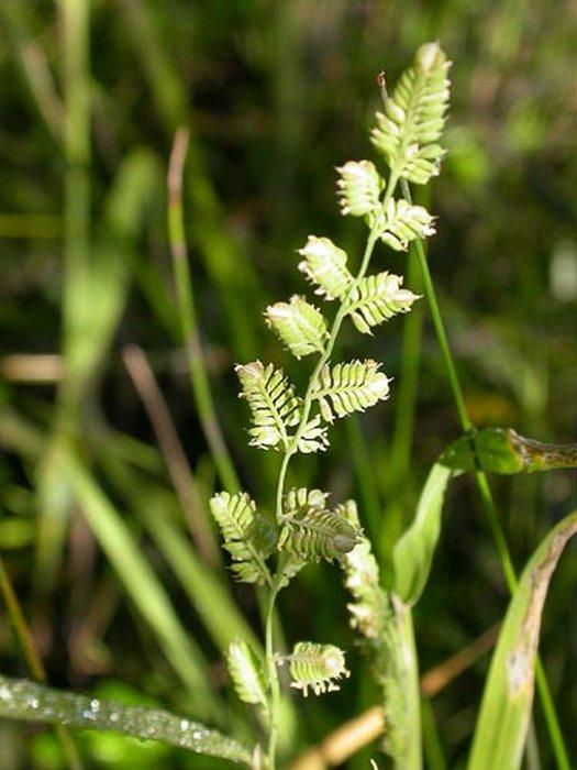 beckmania_eruciformis.3
