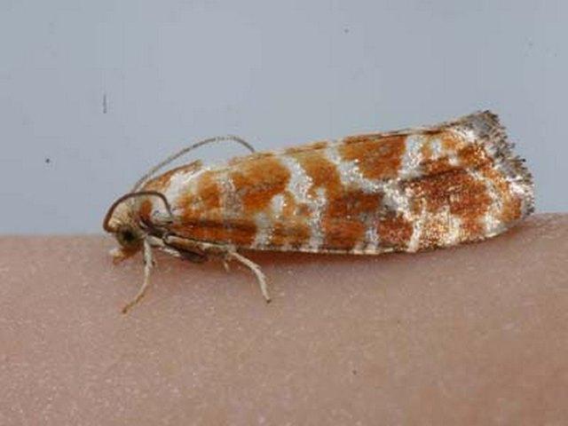 rhyacionia-pinicolana