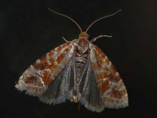 rhyacionia-pinicolana3