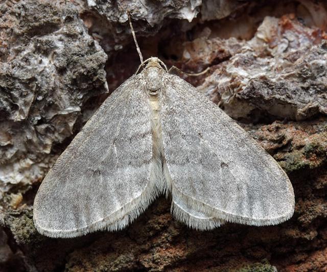 operophtera-brumata16