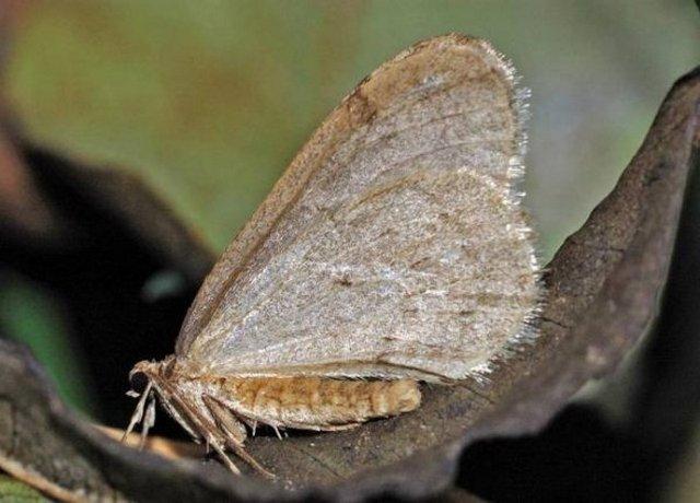 operophtera-brumata2